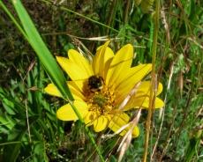 bumble bee in mules ears flower, photo by Pierre La Plant