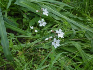 Lithophragma affineNE grassy slope near oak forestAlbany HillGPS