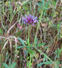 tomcat clover (Trifolium wildenovii); NE meadow Albany Hill; photo by Margot Cunningham