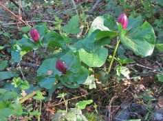 giant trillium (Trillium chloropetalum); E side Albany Hill; photo by Margot Cunningham