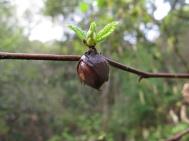 hazelnut in oak forest; E side Albany Hill; photo by Margot Cunningham