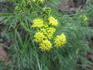 caraway-leaf lomatium (Lomatium caruifolium); NW mdw Albany Hill; photo by Margot Cunningham