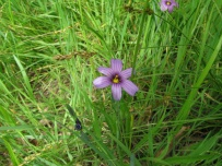 blue-eyed grass (Sisyrinchium bellum); W side Albany Hill; photo by Margot Cunningham