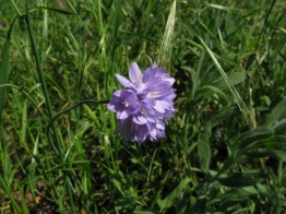 blue dicks (Dichelostemma capitatum); top of Albany Hill; photo by Margot Cunningham