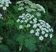 cow parsnip (Heracleum maximum); photo by Margot Cunningham