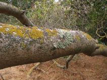 long, twisting buckeye branches w/lichens; photo by Margot Cunningham