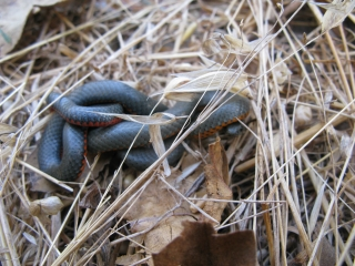 ring-necked snake curled up in defensive posture; photo by Margot Cunningham