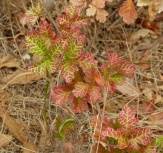 Variegated poison oak leaves, Albany Hill, June 2015, photo by Margot Cunningham