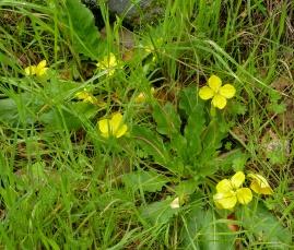 Sun cup flowers (Taraxia ovata) NE meadow next to rocks March 2014, photo by Margot Cunningham