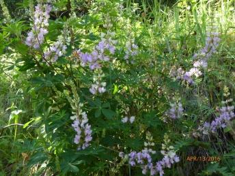 wood lupine (Lupinus latifolius); NE side Albany Hill; photo by Margot Cunningham
