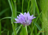 ookow (Dichelostemma congestum); top of Albany Hill; photo by Pierre La Plant