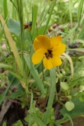 "johnny jump up or CA golden violet (Viola pedunculata); NW mdw Albany Hill; photo by Ana PennyGPS 37º53'50""N 122º18'24""W"