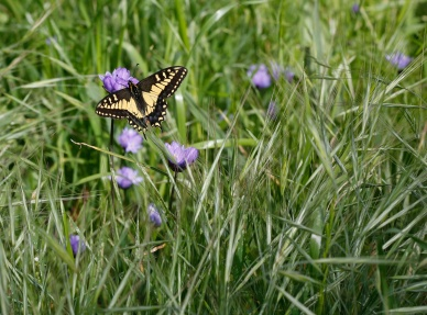 anise swallowtail on blue dicks (Dichelostemma capitatum); top of Albany Hill; photo by Ana Penny