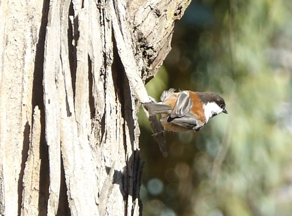 chestnut-backed chickadee on eucalyptus trunktop of Albany HillOct 2015
