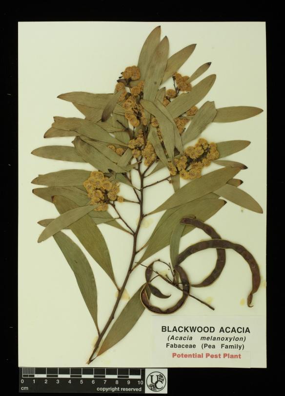 Acacia_melanoxylon