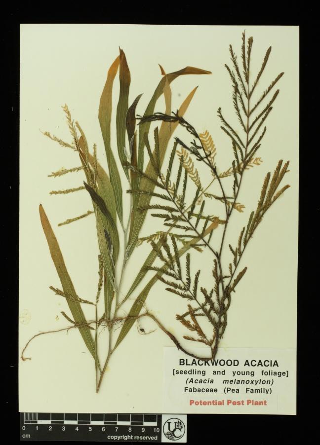 Acacia_melanoxylon_seedl