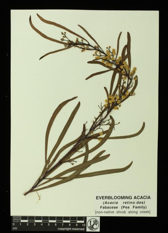 Acacia_retinodes
