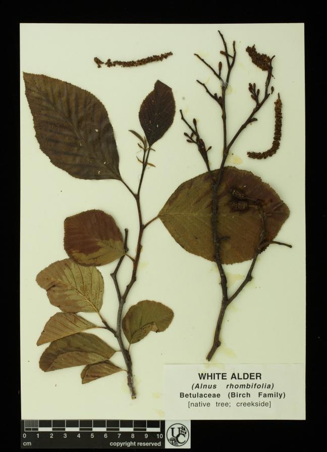Alnus_rhombifolia