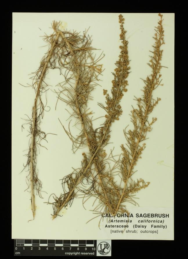 Artemisia_californica