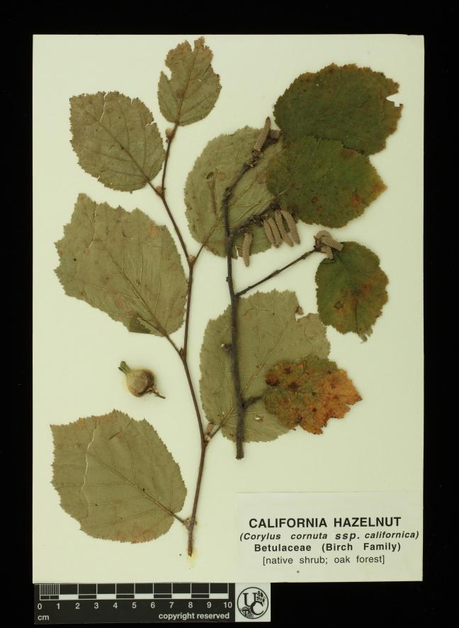 Corylus_corntua_ssp_calif