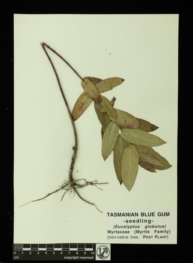 Eucalyptus_globulus_seedl