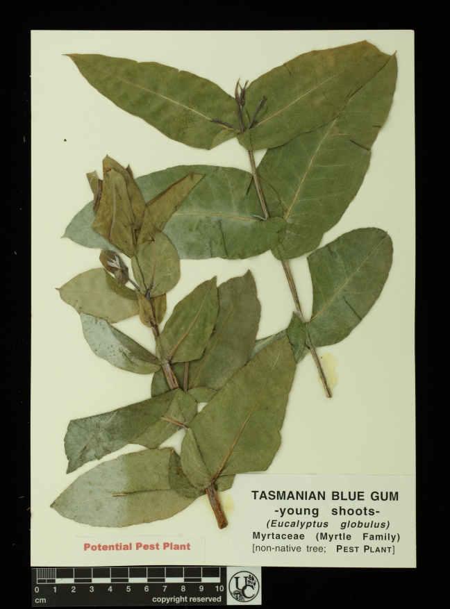 Eucalyptus_globulus_young