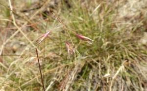 Danthonia californica seedsW side Albany Hill next to sidewalk GPS