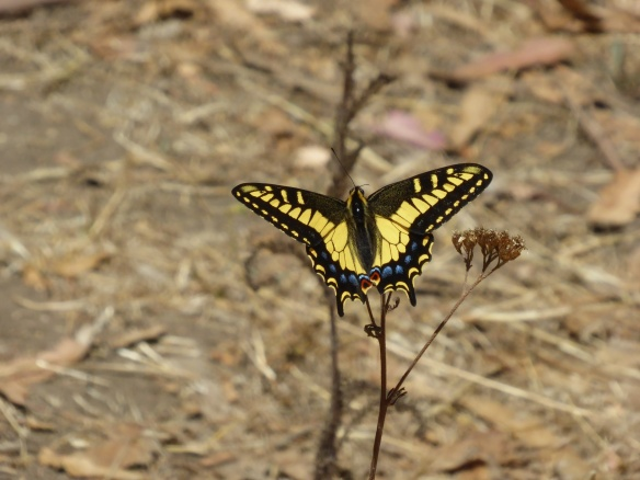 anise swallowtail butterfly on yarrowtop of Albany Hill July 2015