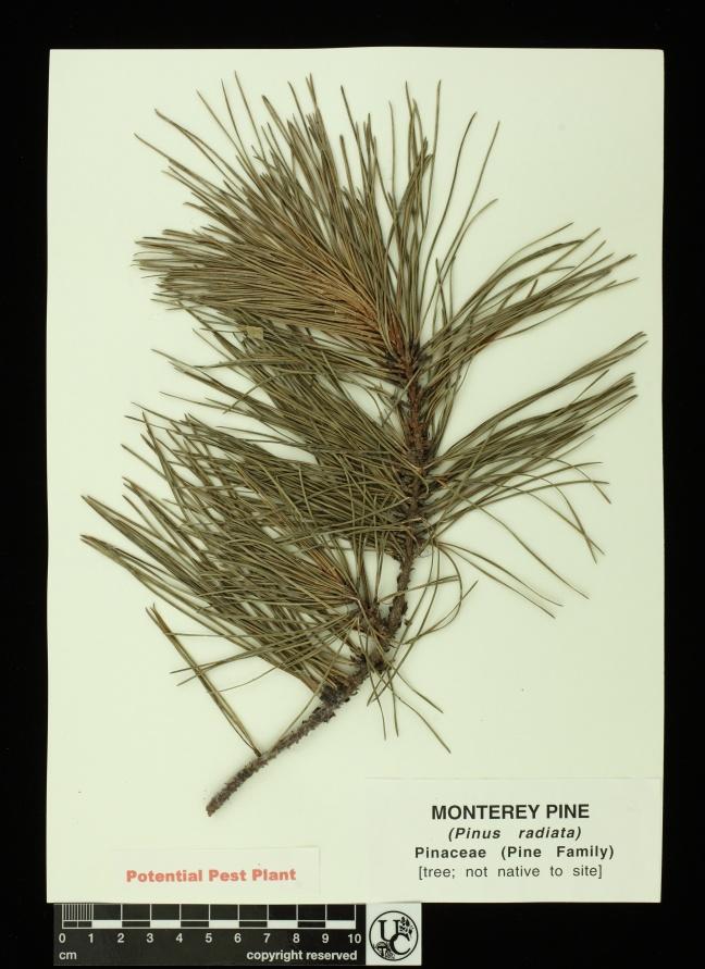 Pinus_radiata