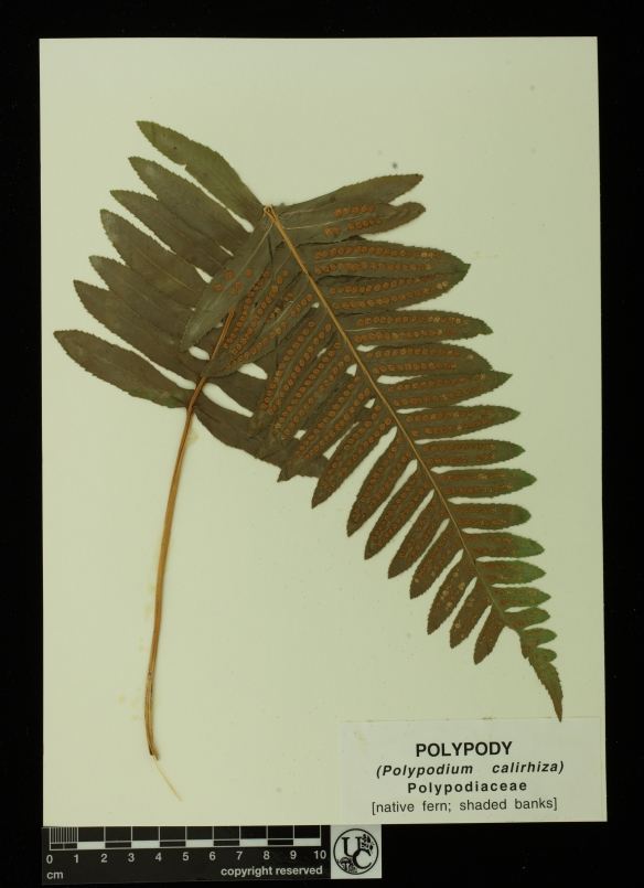 Polypodium_calirhiza