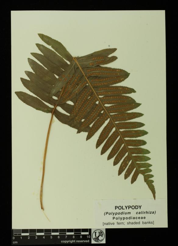 Polypodium_calirhiza