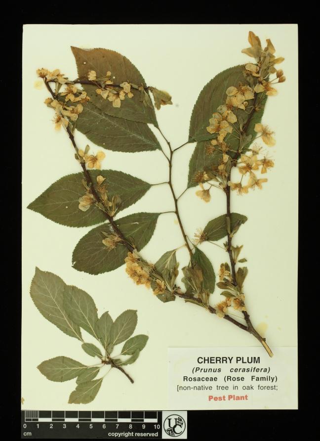 Prunus_cerasifera