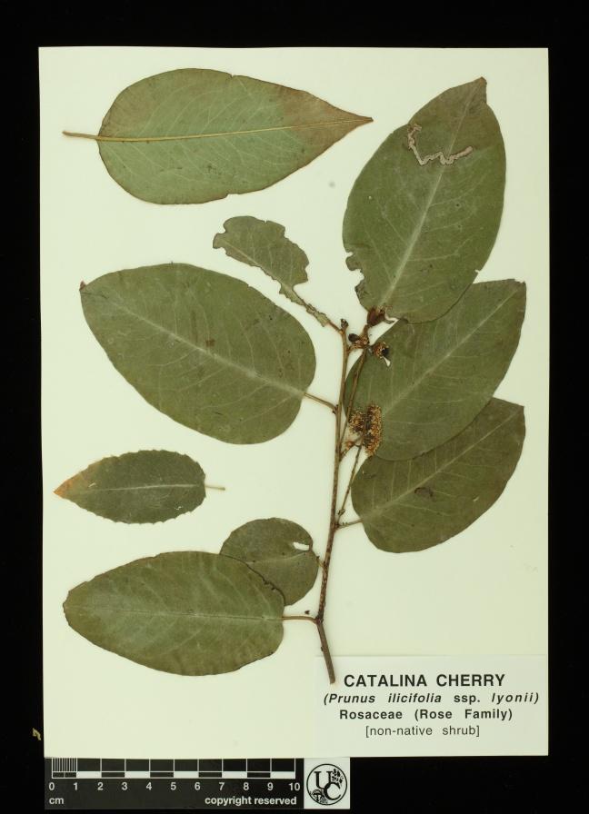 Prunus_ilicifolia_ssp_lyonii