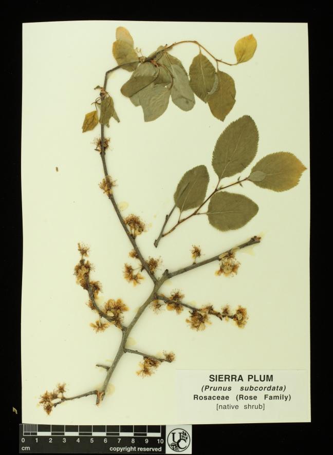 Prunus_subcordata