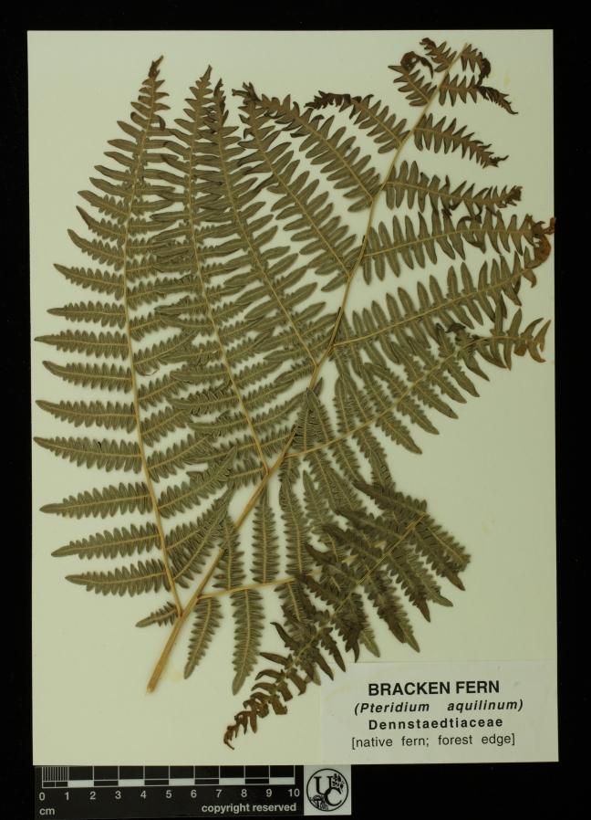 Pteridium_aquilinum
