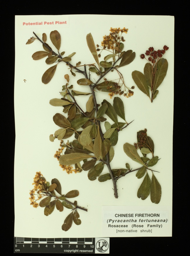 Pyracantha_fortuneana