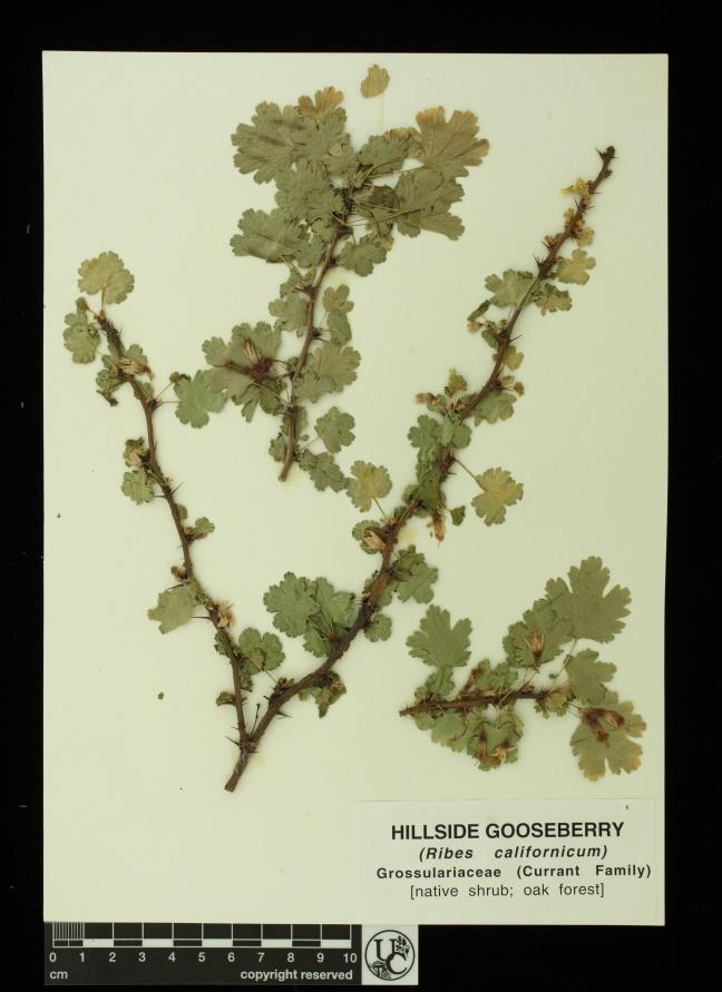 Ribes_californicum