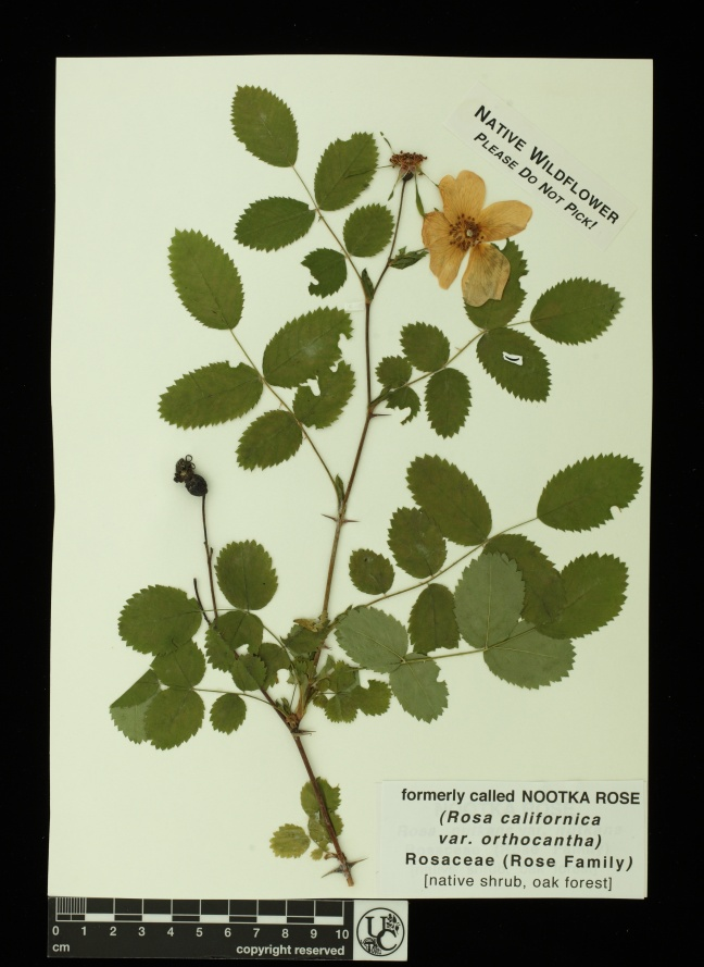 Rosa_californica_v_orthocantha