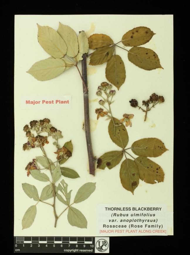 Rubus_ulmifolius_v_anoploth