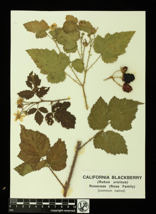Rubus_ursinus