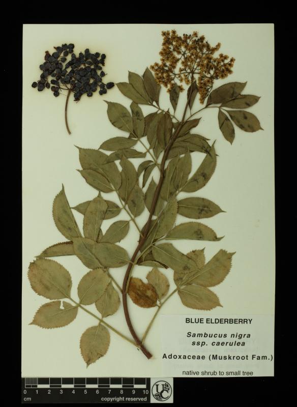 Sambucus_nigra_ssp_caerulea