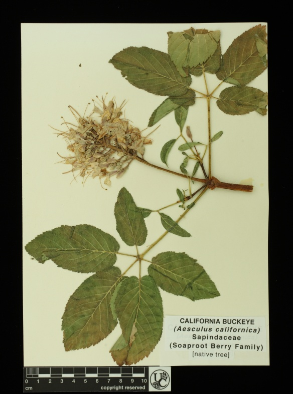 Aesculus_californica2