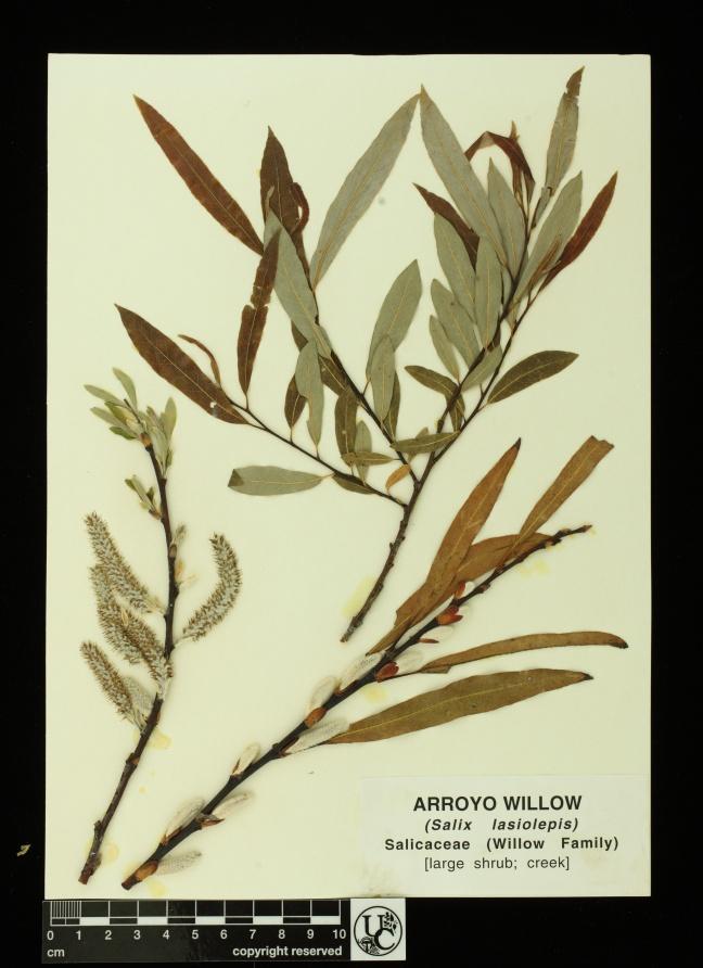 Salix_lasiolepis