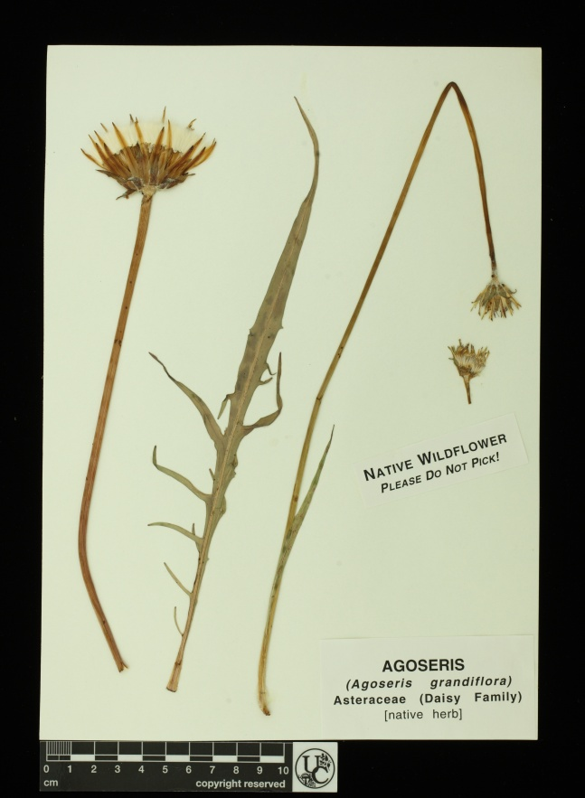 Agoseris_grandiflora