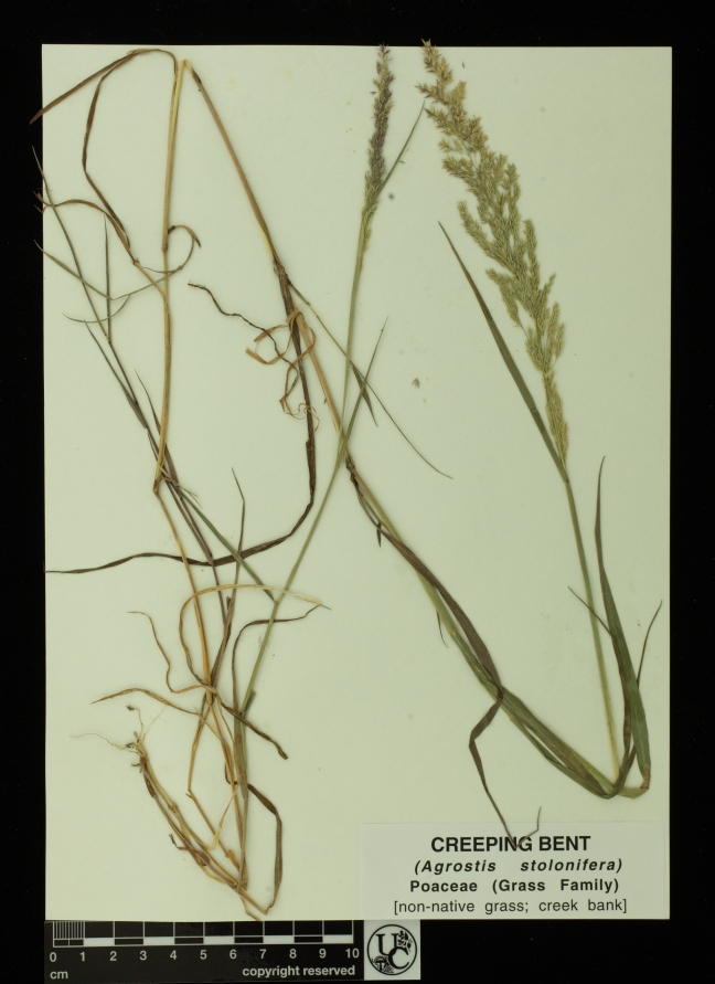 Agrostis_stolonifera