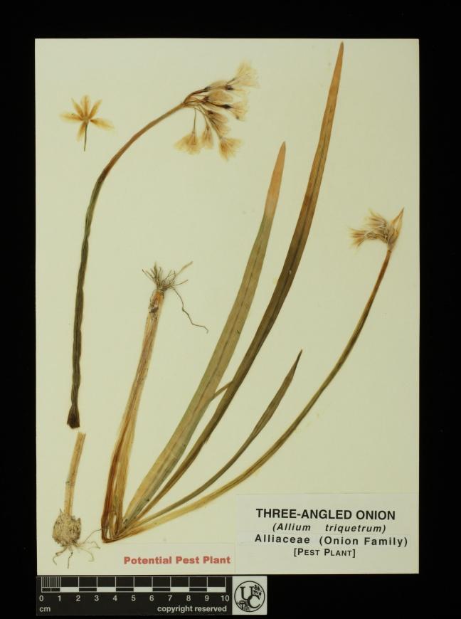 Allium_triquetrum