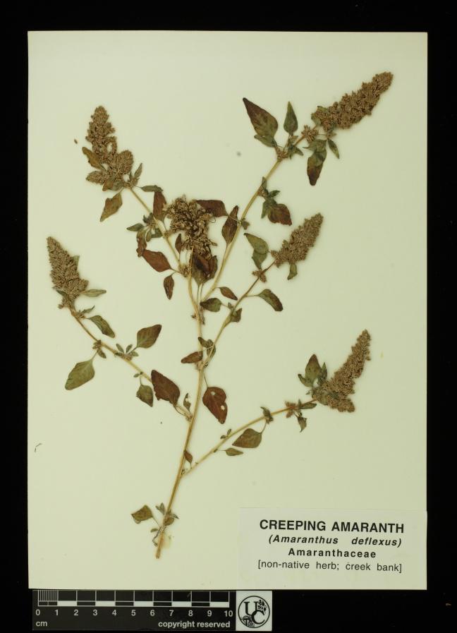 Amaranthus_deflexus