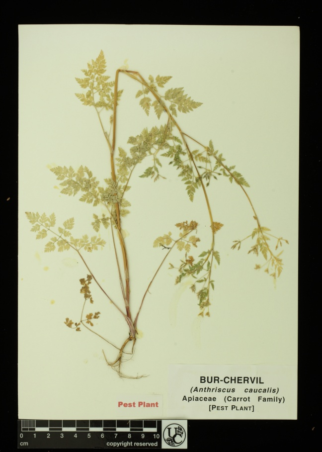 Anthriscus_caucalis