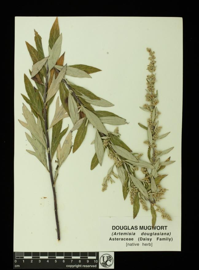 Artemisia_douglasiana