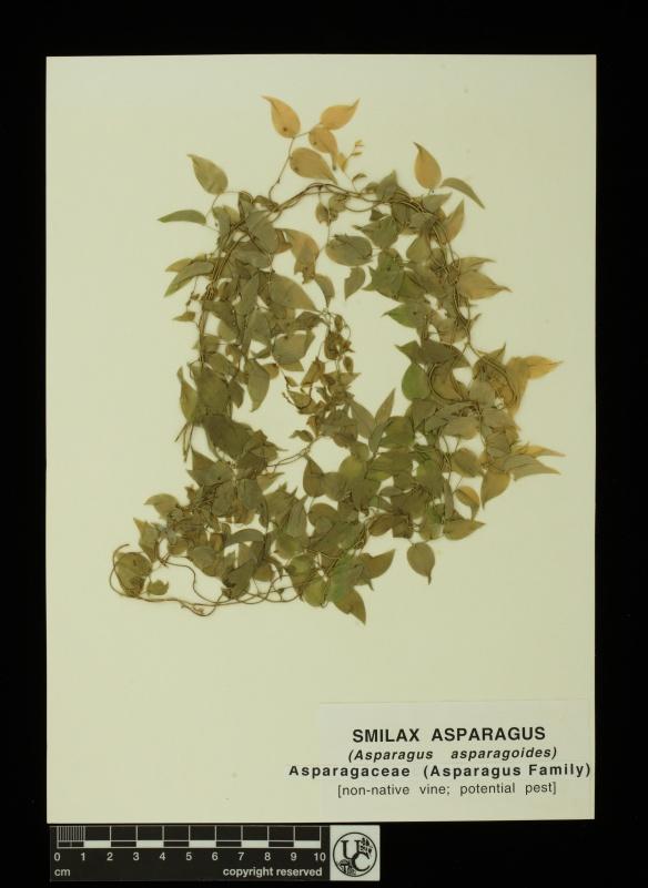 Asparagus_asparagoides